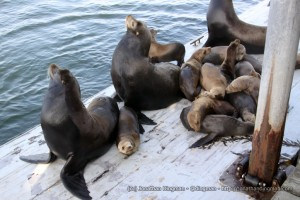 sea-lions1